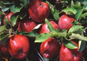 что мы знаем о яблоках